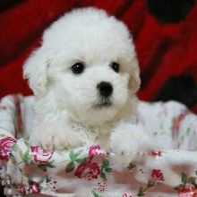 广州宠物市场,出售纯种比熊,大型专业犬舍直销