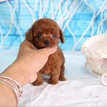 广州哪里可以买到茶杯泰迪,小型犬犬舍直销