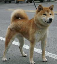 广州哪里出售纯种柴犬,大型专业犬舍直销