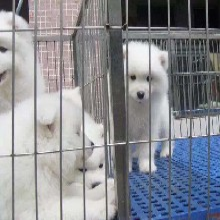 广州萨摩耶雪橇犬大骨架毛量足狗场直销包健康养死包换