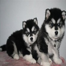 广州哪里有纯种阿拉斯加阿拉斯加幼犬报价多少钱阿拉斯
