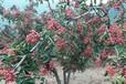 火葫芦柿子树苗,韩城市哪里有花椒苗无刺,憩园培鑫狮子头大红袍花椒苗批发
