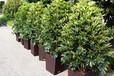 蘇州綠植盆栽租擺花卉植物辦公室租擺出售盆景