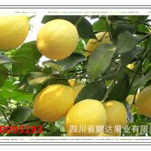 安岳檸檬黃檸檬鮮果檸檬干片廠家鵬達檸檬圖片