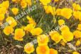 花菱草种植方法