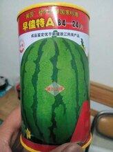 早佳8424西瓜种子价格图片