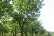 國槐苗木養護管理