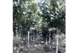 法桐苗木養護管理