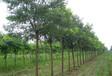 白蠟苗木養護管理