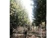 法桐種植基地