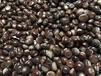 河北板栗批发市场邢台板栗批发大量优质板栗供应