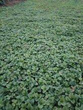 草莓苗多少钱一颗,草莓苗怎么种,草莓苗批发,草莓苗吧,东北草莓苗基地图片