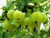 黑加侖是葡萄嗎,黑加侖苗,黑醋栗苗,黑加侖苗價格,黑加侖苗基地