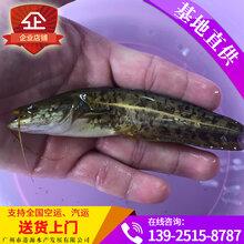 杂交鲶鱼种苗,大口鲶鱼苗批发,黄鲶鱼种苗价格优惠