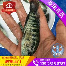 石斑鱼种苗,淡水石斑鱼苗