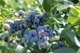 九江蓝莓种植地基