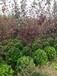 紅葉李樹苗價格紫葉李