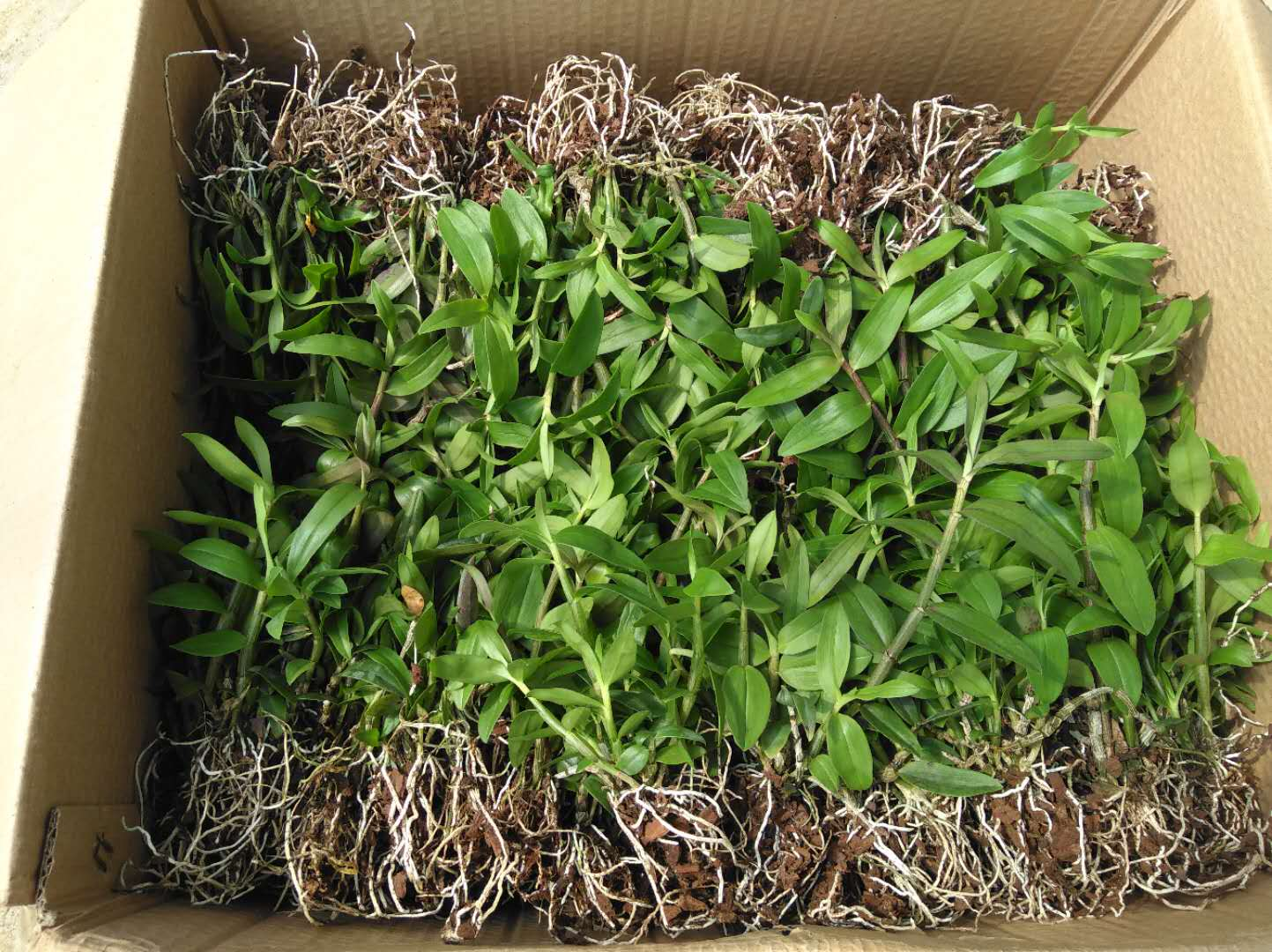 铁皮石斛种苗图片