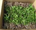 铁皮石斛种苗批发,基地直发