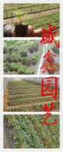 山东草莓苗基地,章姬草莓苗批发图片