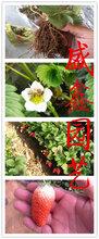 草莓苗基地,章姬草莓苗批发图片