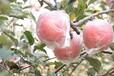 水果一件代發,微商水果農產品一件代發,專業水果供應鏈
