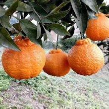 四川浦江不知火丑橘價格圖片