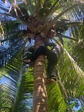 新鮮海南文昌椰子椰青,產地直發,一件包郵圖片