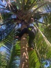 新鲜海南文昌椰子椰青,产地直发,一件包邮图片