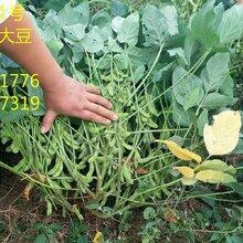 抢购抢购抢购高产大豆种子图片