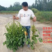 """批发供应""""百丰圣农1号""""高产大豆种子图片"""