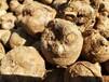 魔芋種子魔芋種子批發魔芋種子批發價格