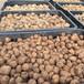 魔芋种子批发,购买即享免费技术指导、免费送货上门