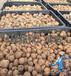 魔芋育種基地直銷魔芋種子