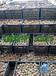 魔芋育種基地直銷魔芋種子,批發價格從優