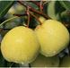 砀山酥梨二级果价格,砀山梨半斤左右的多少钱