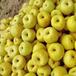 大量供应砀山酥梨-安徽砀山梨基地直销批发价
