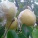 安徽砀山酥梨产地合作社,砀山梨产地批发价格