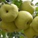 安徽沙土地砀山酥梨大量供货中,砀山酥梨批发多少钱斤