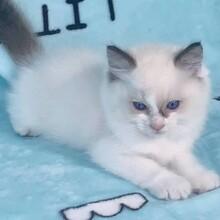免費帶寵物貓咪回家(深圳可以充代購)圖片