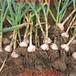 大蒜快速膨大劑喜百農大世界膨大素安全長效蒜頭洋蔥黃姜膨大劑