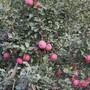临沂兴旺苗木繁育合作社常年供应优良品种红富士苗1--5公分。图片