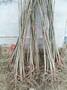 香椿树苗红油香椿苗绿油香椿苗当年可食用盆栽地栽南北方种植图片