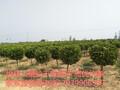 河南偃师浩林苗圃长期提供各种规格的大叶黄杨球等行道树图片