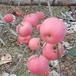 三公分实生苹果苗价格嫁接苹果苗新品种
