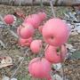 三公分实生苹果苗价格嫁接苹果苗新品种图片