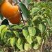 新品种柿子苗-无核柿子苗批发价格-柿子苗多少钱一棵