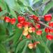 红宝石樱桃苗批发多少钱一棵?哪里有卖肉樱桃苗的