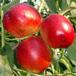 油桃苗新品种-中油16号油桃苗多少钱一棵-油桃苗批发价格
