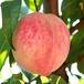 2年冬桃苗哪里可以批发,嫁接桃树苗批发价格是多少